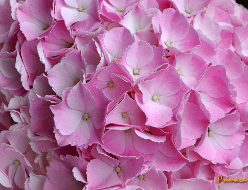 Florile Sucevei