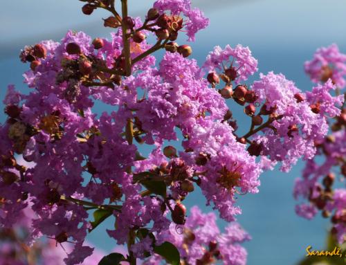 Sarande – florile