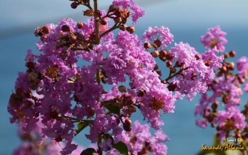 Sarande - florile