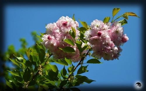 Bucovina Primavara flori (1)