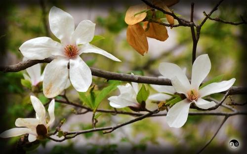 Bucovina Primavara flori (10)