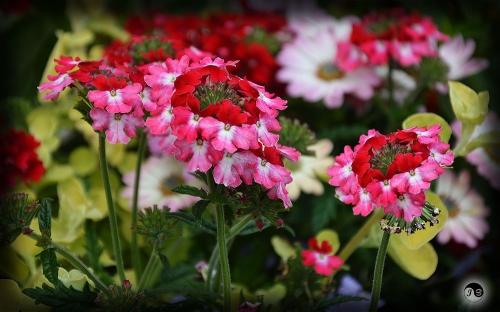 Bucovina Primavara flori (11)