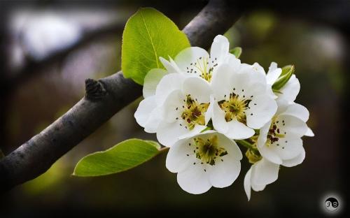 Bucovina Primavara flori (12)