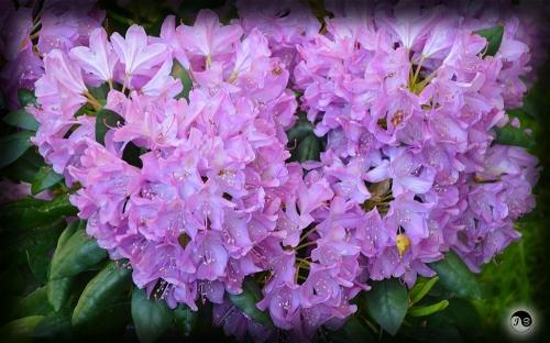 Bucovina Primavara flori (13)