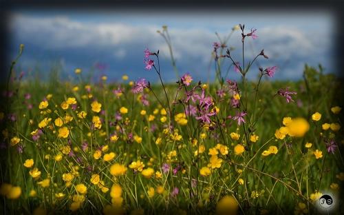 Bucovina Primavara flori (16)