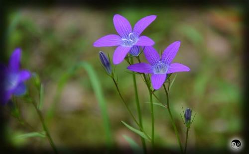Bucovina Primavara flori (18)