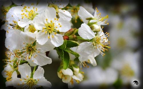 Bucovina Primavara flori (19)