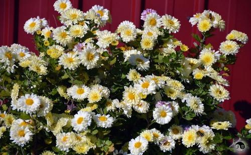 Bucovina Primavara flori (20)