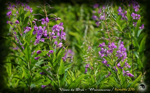 Bucovina Primavara flori (22)