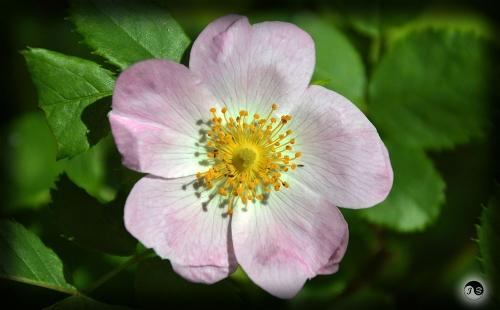 Bucovina Primavara flori (25)