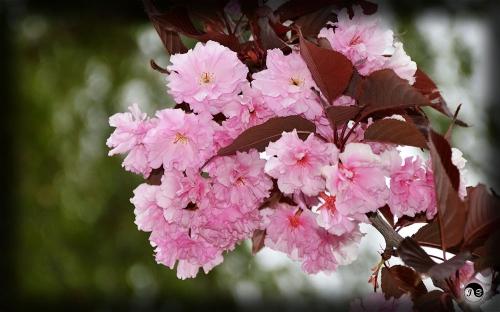 Bucovina Primavara flori (3)