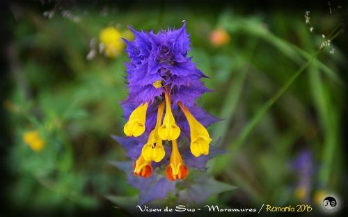 Bucovina Primavara flori (5)