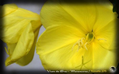 Bucovina Primavara flori (6)