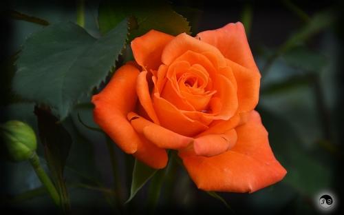Trandafiri (11)