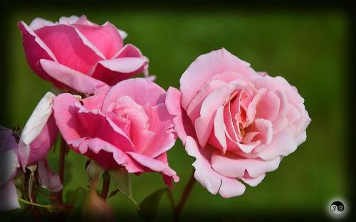 Trandafiri (15)