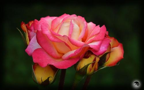 Trandafiri (16)