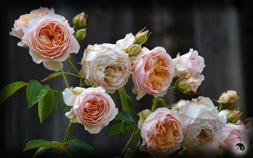Trandafiri (17)