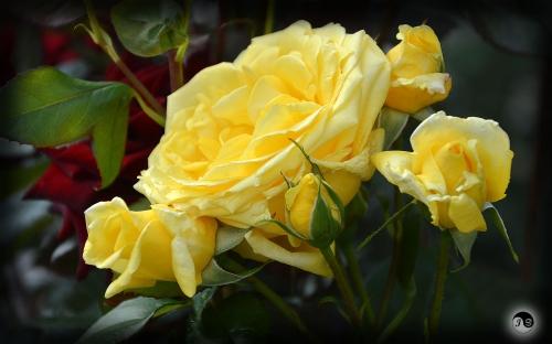 Trandafiri (18)