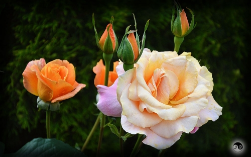 Trandafiri (19)
