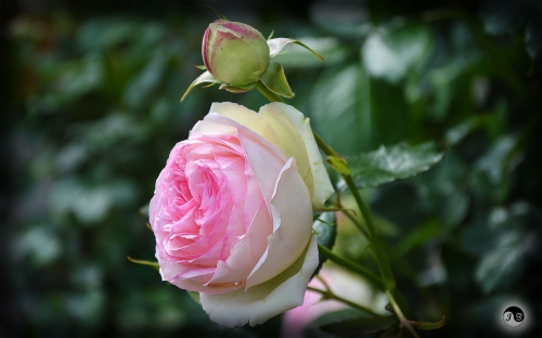Trandafiri (21)