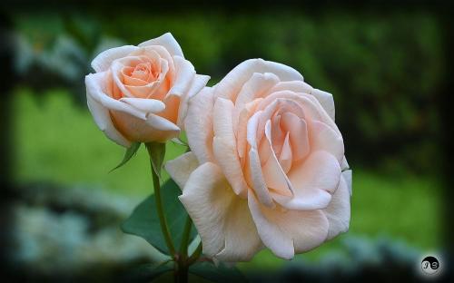 Trandafiri (23)