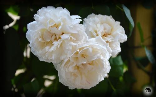 Trandafiri (24)