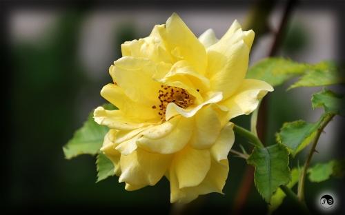 Trandafiri (28)