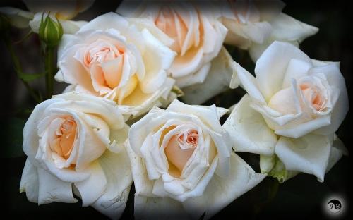 Trandafiri (4)