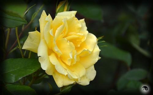 Trandafiri (6)