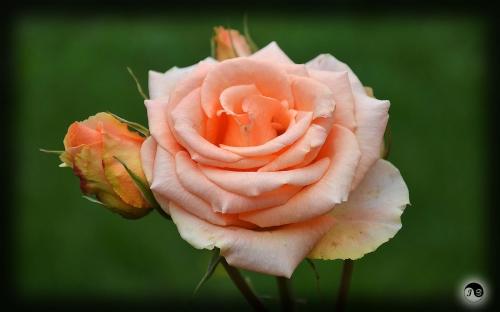 Trandafiri (7)