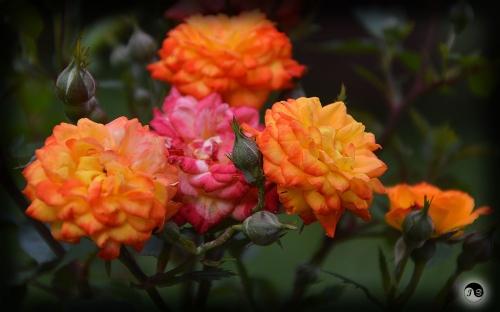 Trandafiri (9)
